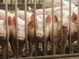 一季度出栏生猪1.88亿头,非瘟扑杀已安排6.3亿元补助