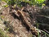 死猪尸体未进行无公害处理,被直接扔到池塘,非瘟如何能防范?