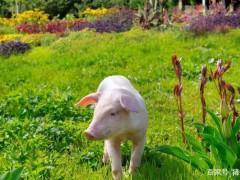 涅槃重生或心灰意冷!非瘟一周年,养猪业产能多久恢复?