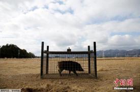 为防非洲猪瘟传播 澳大利亚养猪业吁悬赏猎杀野猪